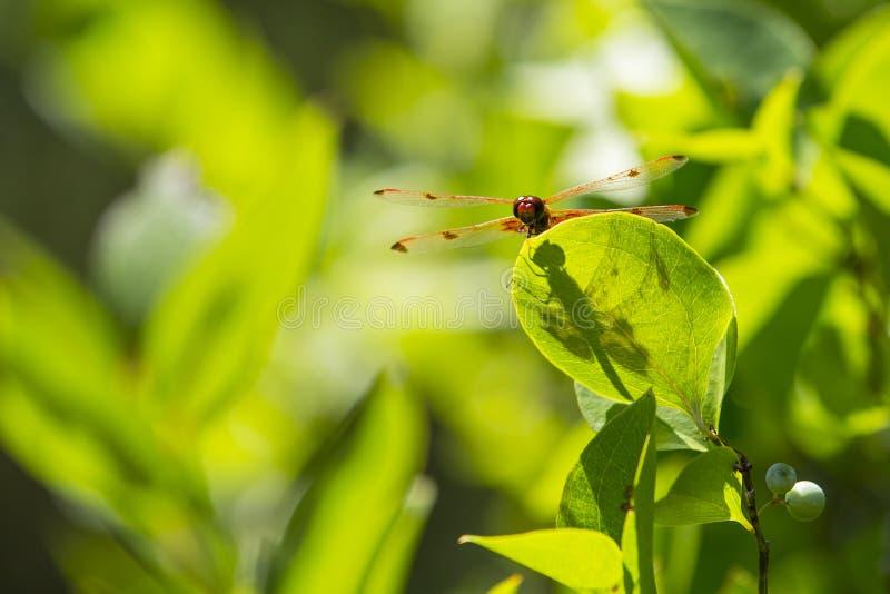 Extensión de las alas de la libélula del banderín del calicó, con la sombra, en la hoja imagenes de archivo