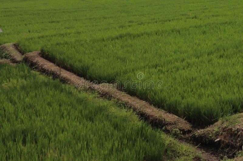 Extensi?n extensa de las plantaciones del arroz fotos de archivo libres de regalías