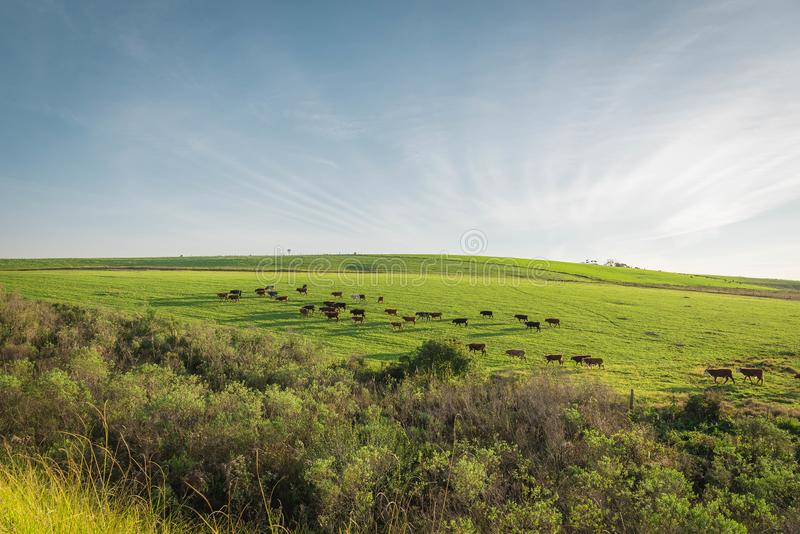 The pasture field and cattle herd 04 royalty free stock image