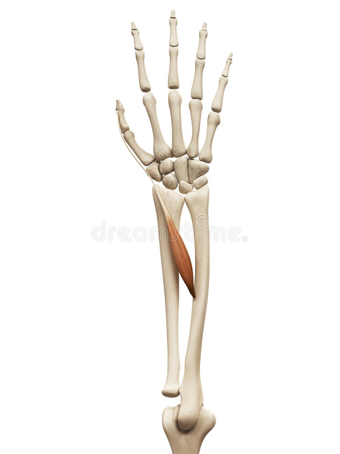The extensor policis longus vector illustration