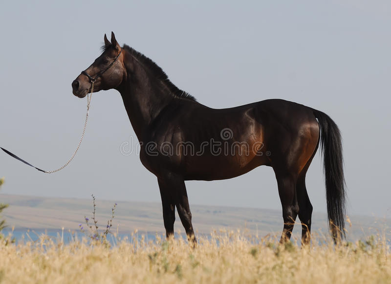 Download Exterior Of Dark Brown Trakehner Horse Stock Photo - Image: 10497930