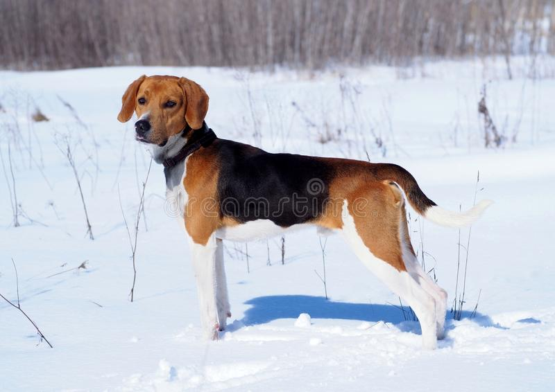 Exterior of the Estonian hound stock photography