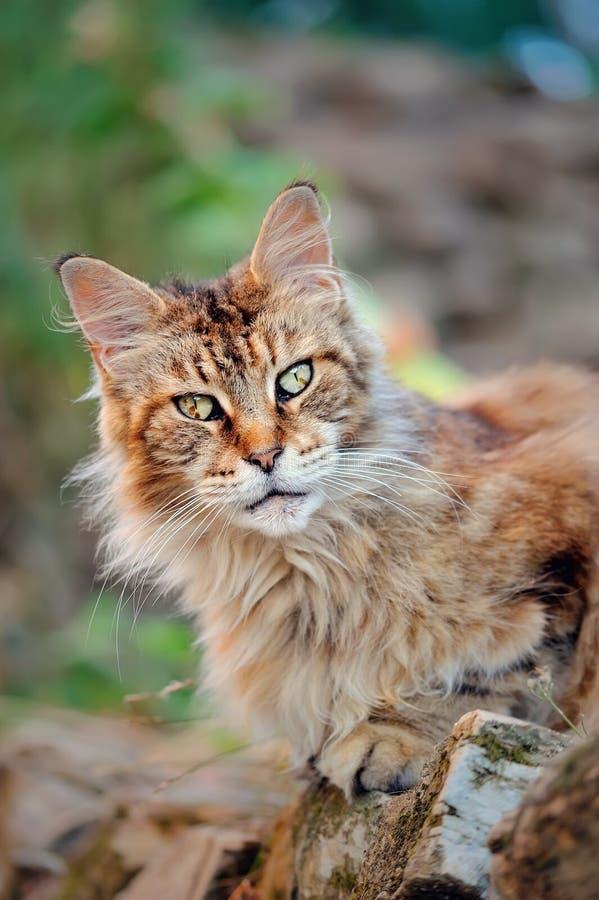 Exterior masculino do gato velho de Maine Coon o olhar feroz selvagem fotos de stock royalty free