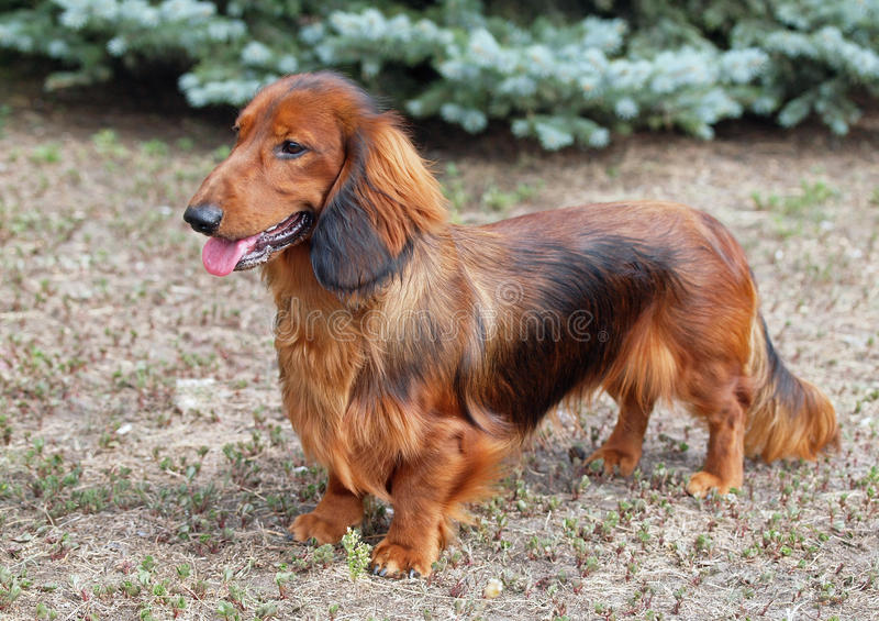 Exterior of a red long haired dachshund. Standing on lawn royalty free stock photos