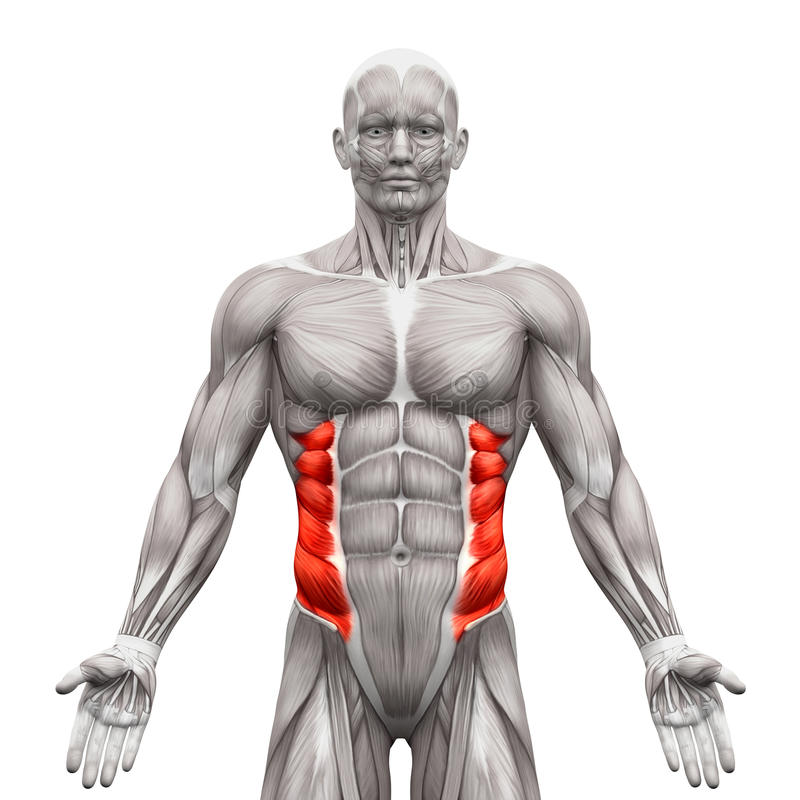 External Oblique Muscles - Anatomy Muscles Isolated On White - 3 ...