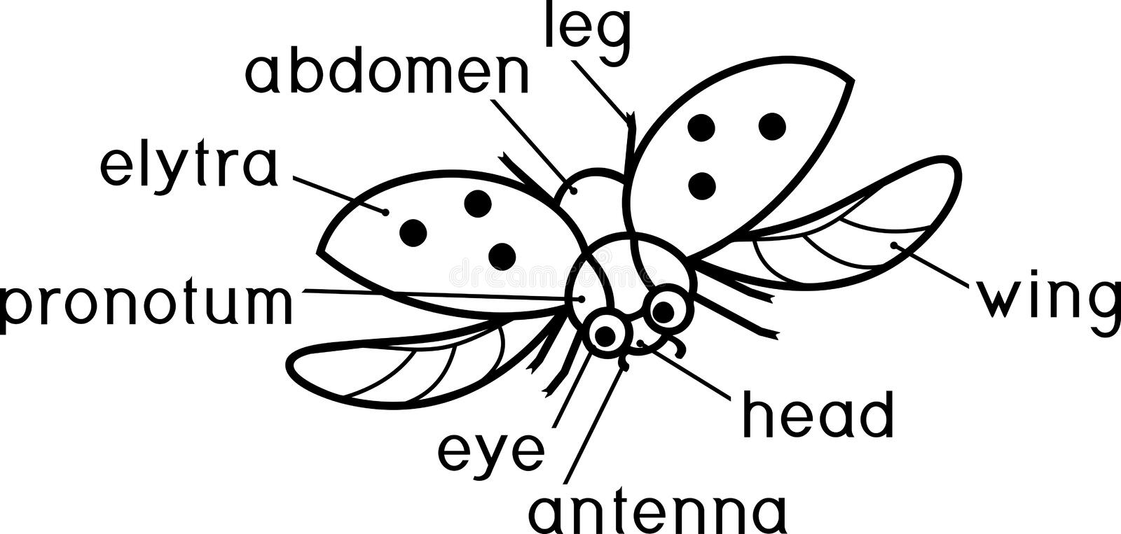 External structure of insect coloring page. Parts of body of flying ladybug with titles. Coloring page. External structure of insect coloring page. Parts of body stock illustration