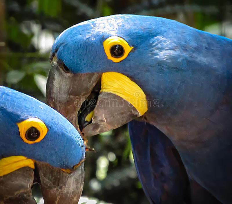 Extinction Threatened Hyacinth Macaw Anodorhynchus hyacinthinus royalty free stock photo
