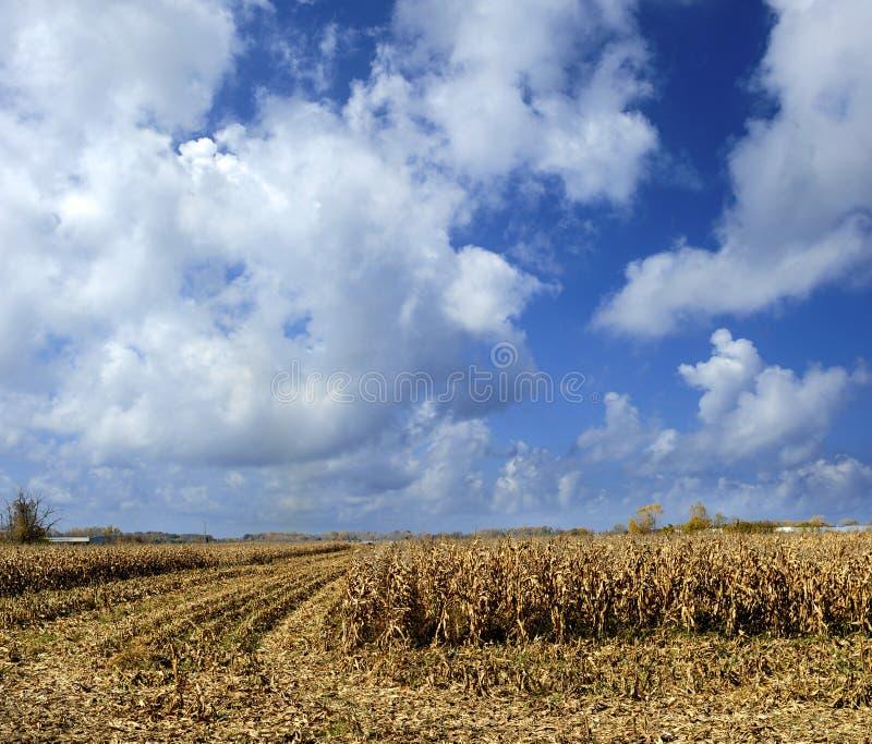 Extrémité du champ de maïs de saison images libres de droits