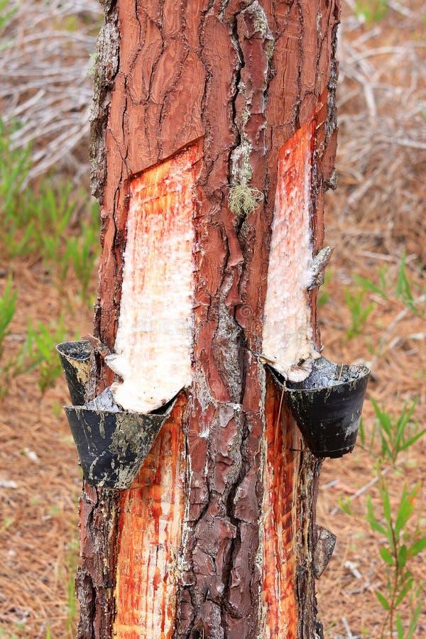 Extração da resina da árvore de pinho em Portugal foto de stock