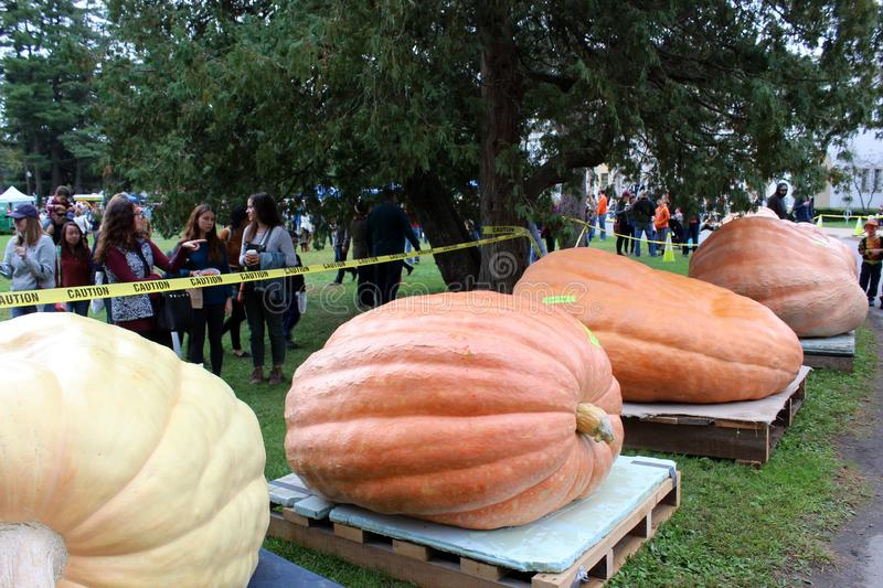 Extra large pumpkins ready for weigh-in contest, SPAC, Saratoga Springs, New York, 2018. Extremely large pumpkins ready to be weighed in at annual contest, SPAC stock photo