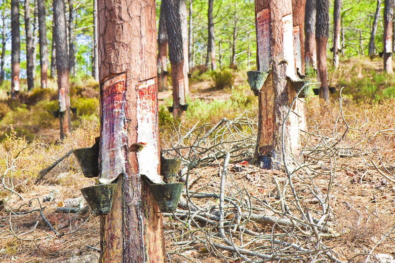 Extractie van natuurlijke hars van de boomstammen van de pijnboomboom - & x28; Europa - Po royalty-vrije stock foto