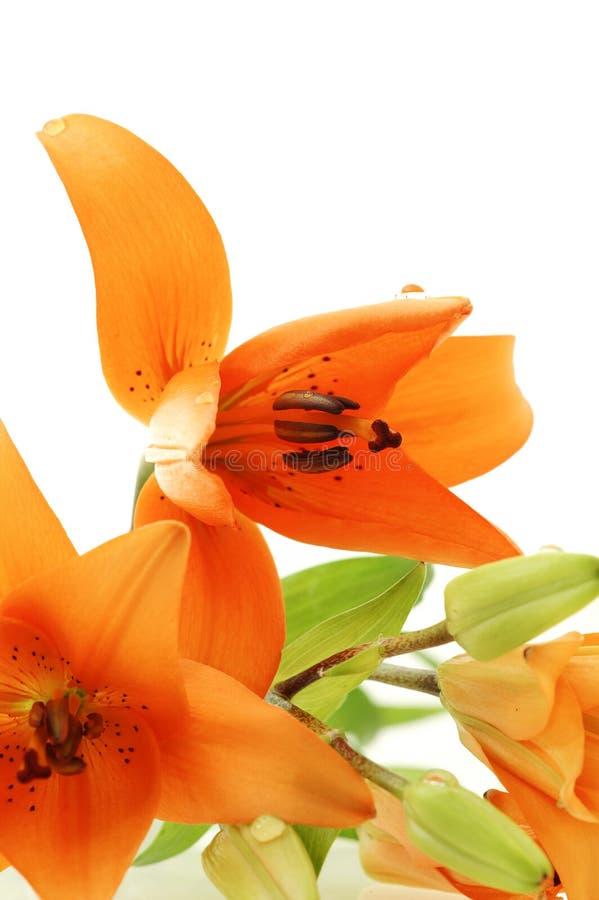Extracto cercano para arriba de ramo anaranjado de los lirios imagen de archivo