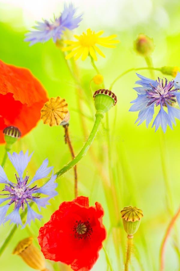 Extracto de la amapola y del aciano del wildflower del verano fotos de archivo libres de regalías