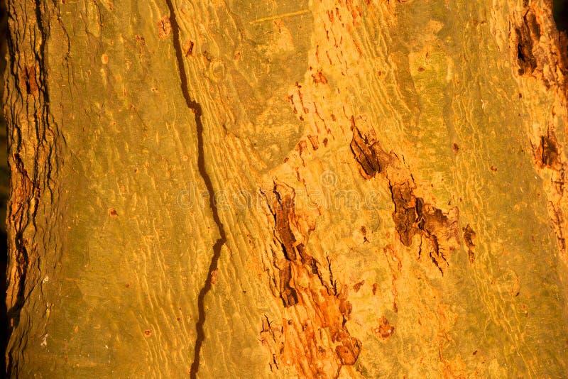 Extracto de la corteza de árbol de fiebre fotos de archivo