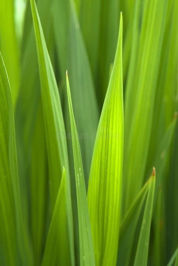 Extracto de la hierba foto de archivo libre de regalías