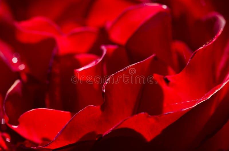 Extracto de la naturaleza: Perdido en los dobleces apacibles de la Rose delicada foto de archivo