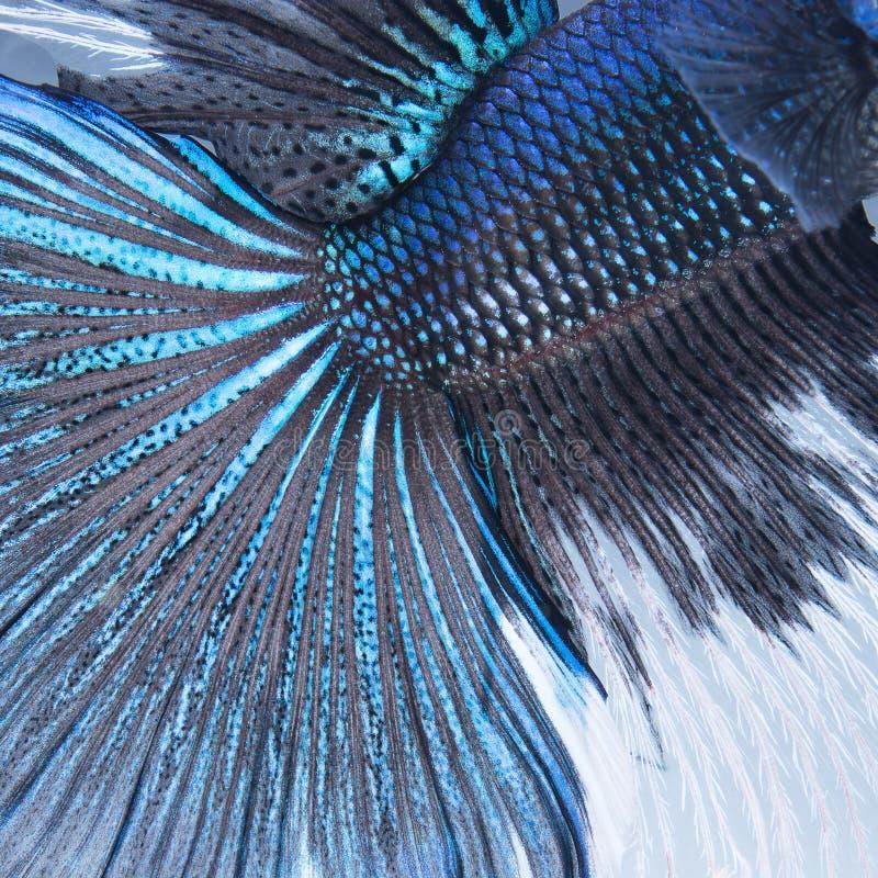 Extracto de los pescados de la cola de Betta foto de archivo libre de regalías