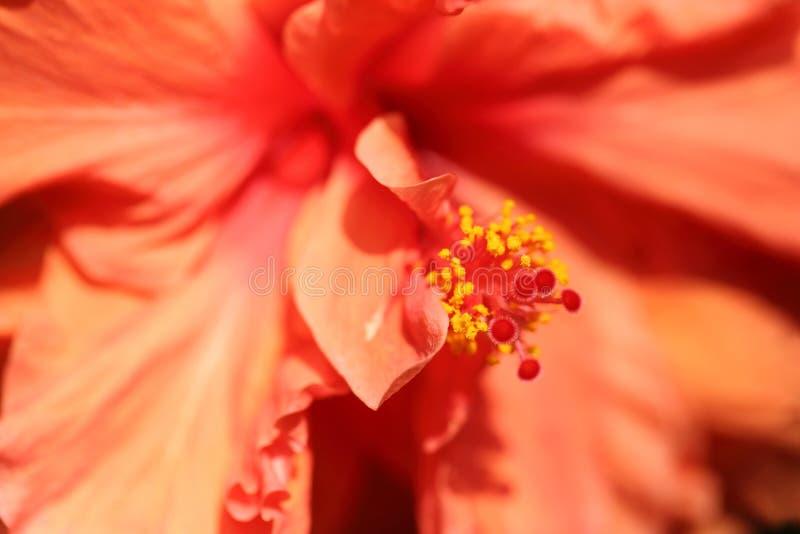 Extracto del pétalo de la flor y de estambres largos con polen dentro del hibisco anaranjado imágenes de archivo libres de regalías