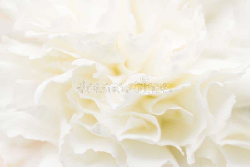Extracto macro de los pétalos blancos del clavel Foco suave imagenes de archivo