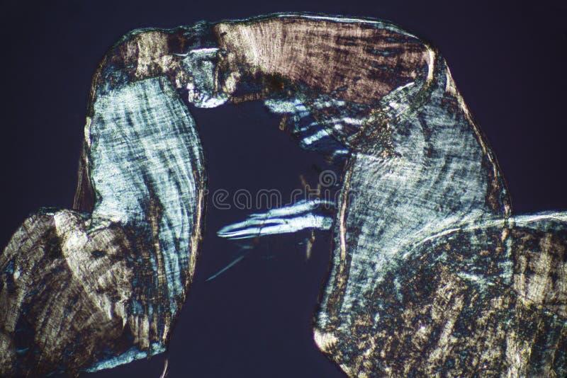 Extracto, micrográfo polarizante de la envoltura de acoplamiento de un oído imagenes de archivo