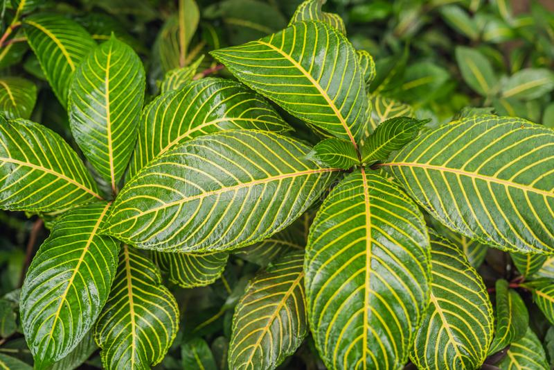 Extracto verde oscuro de la planta tropical y de la hoja verde después de gotas de lluvia en la estación de la monzón imagenes de archivo