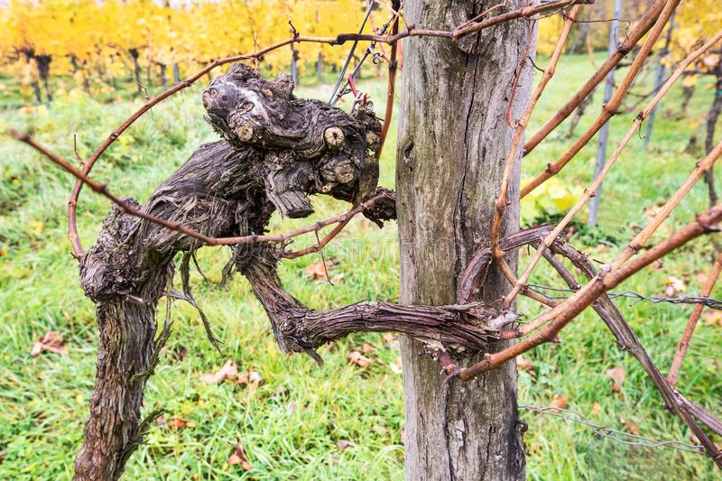 Extraordinary shaped old grapevine in autumn looking like a scary creature. Wachau Austria royalty free stock images