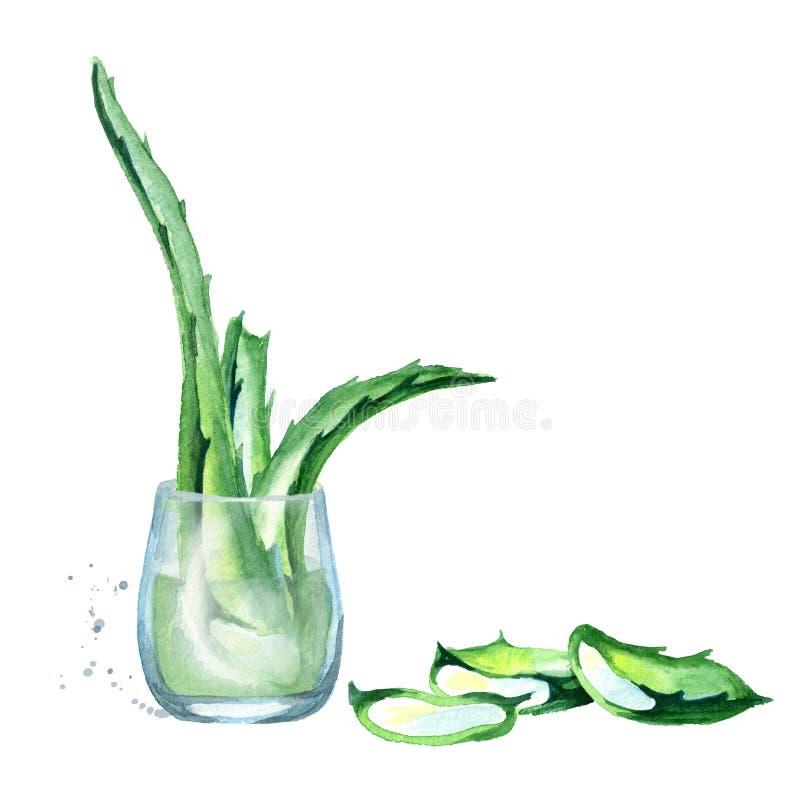 Extrato orgânico de vera do aloés Ilustração tirada mão da aquarela ilustração royalty free