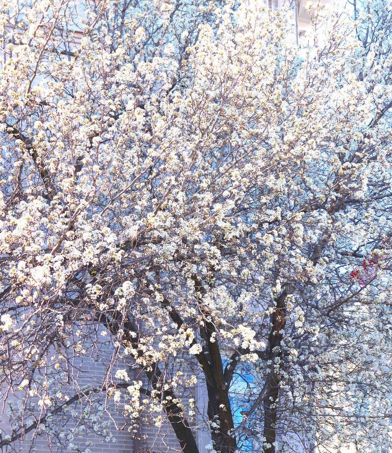 Extravagância branca da flor como a mola abre imagens de stock