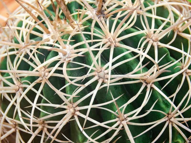 Cactus for background royalty free stock photography