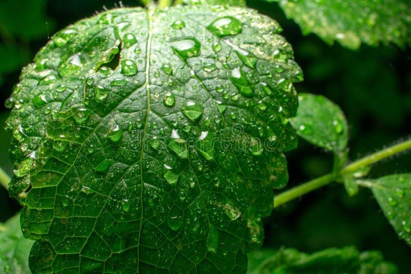 Extreem close-up van het groene blad van de Citroenbalsem met waterdalingen op donkere achtergrond royalty-vrije stock fotografie
