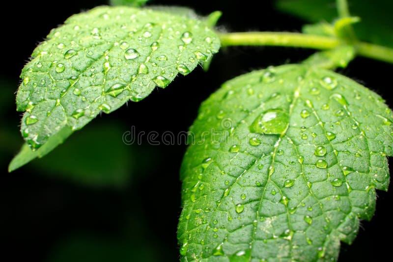 Extreem close-up van het groene blad van de Citroenbalsem met waterdalingen op donkere achtergrond royalty-vrije stock foto