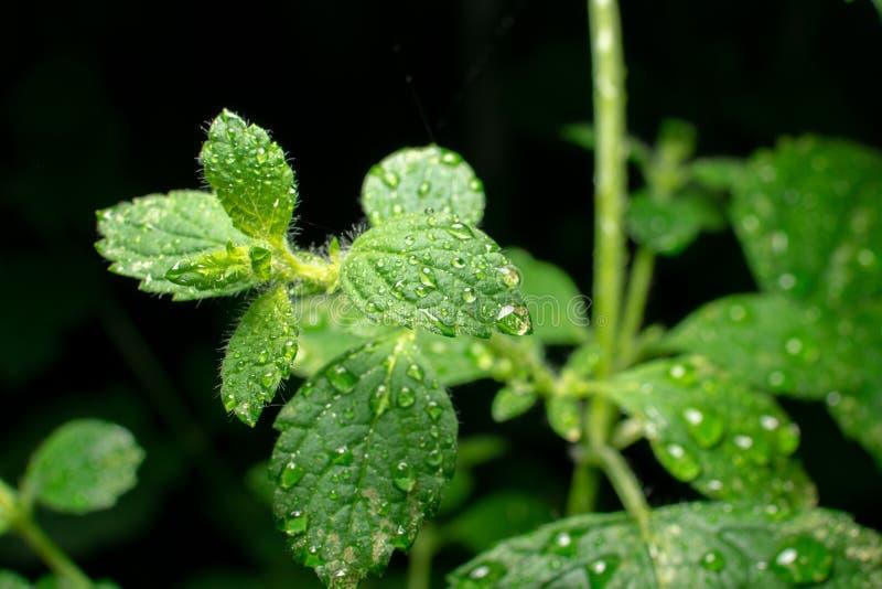 Extreem close-up van het groene blad van de Citroenbalsem met waterdalingen op donkere achtergrond stock fotografie