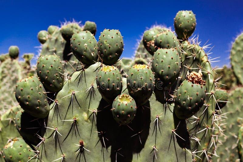 Extrem closeup av den gröna kaktusväxten mot en blå himmel på en solig dag arkivbild