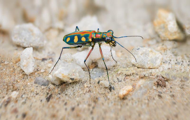 Extrem Closeup av en ljust färgade Tiger Beetle i det löst arkivbilder