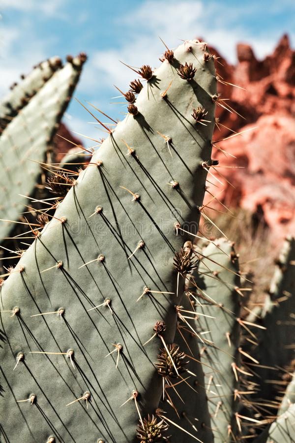Extrem Closeup av kaktuns för taggigt päron på dalen av brandtillstånd P arkivfoto