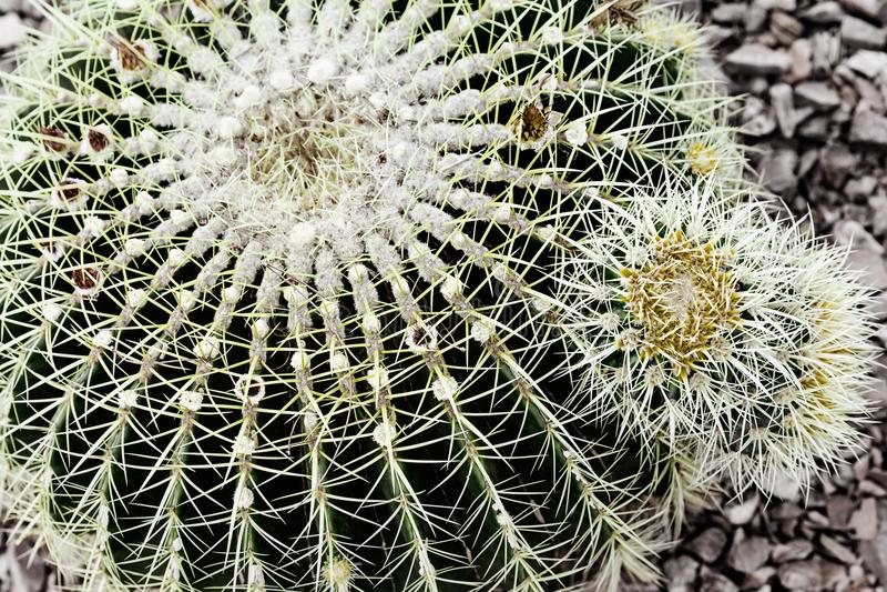 Extrem Closeup av kaktusväxten för design arkivbilder