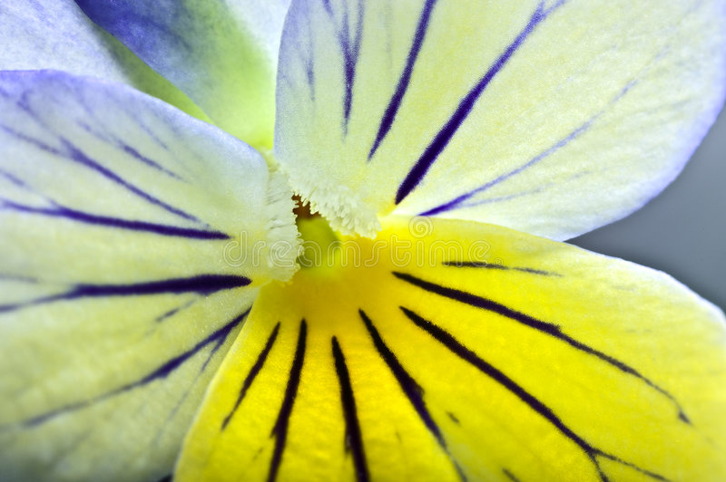 Extrem closeup on a pansy flower stock images