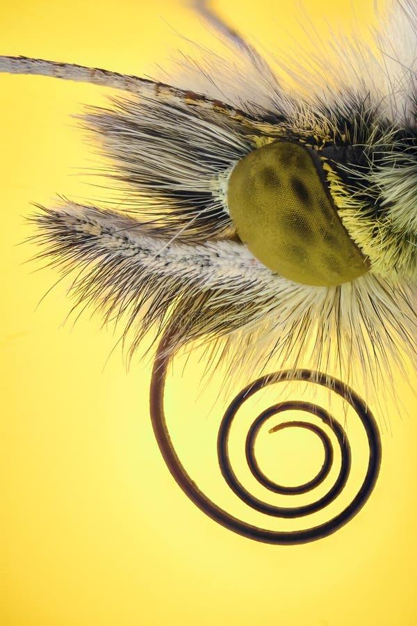 Extrem förstoring - Anthocharis cardaminefjäril fotografering för bildbyråer