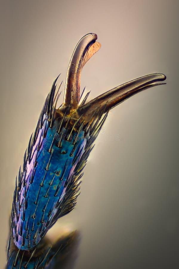 Extrem förstoring - blå metallisk feljordluckrare, Meloe proscarabaeus royaltyfria foton