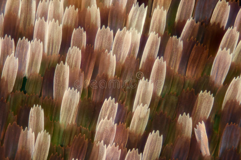 Extrem förstoring - fjärilsvingvåg, Vanessa Atalanta, 10x royaltyfri fotografi