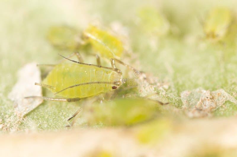 Extrem förstoring - gröna bladlöss på en växt royaltyfri fotografi