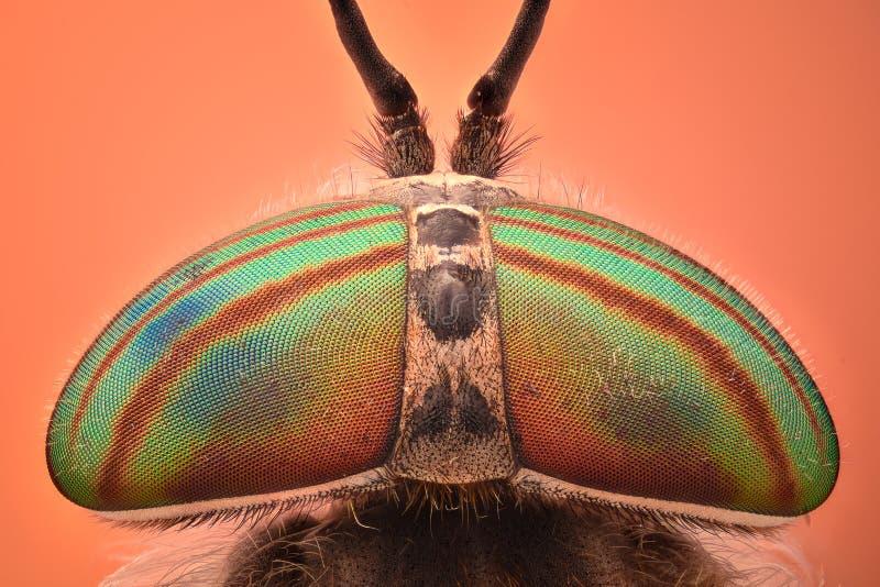 Extrem förstoring - huvud för hästfluga och ögon, Hybomitra royaltyfria foton