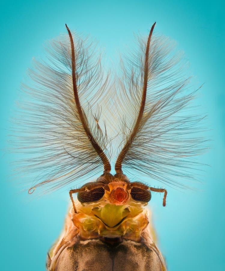 Extrem förstoring - myggahuvud, Chironomus, främre sikt arkivbild