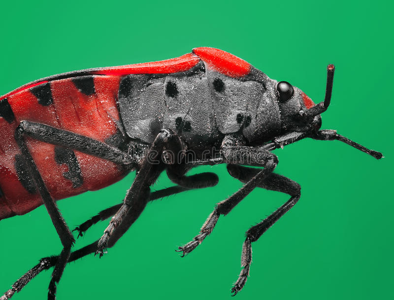 Extrem förstoring och toppet makroämne: Rött soldatfel på en grön bakgrund i studion arkivfoton