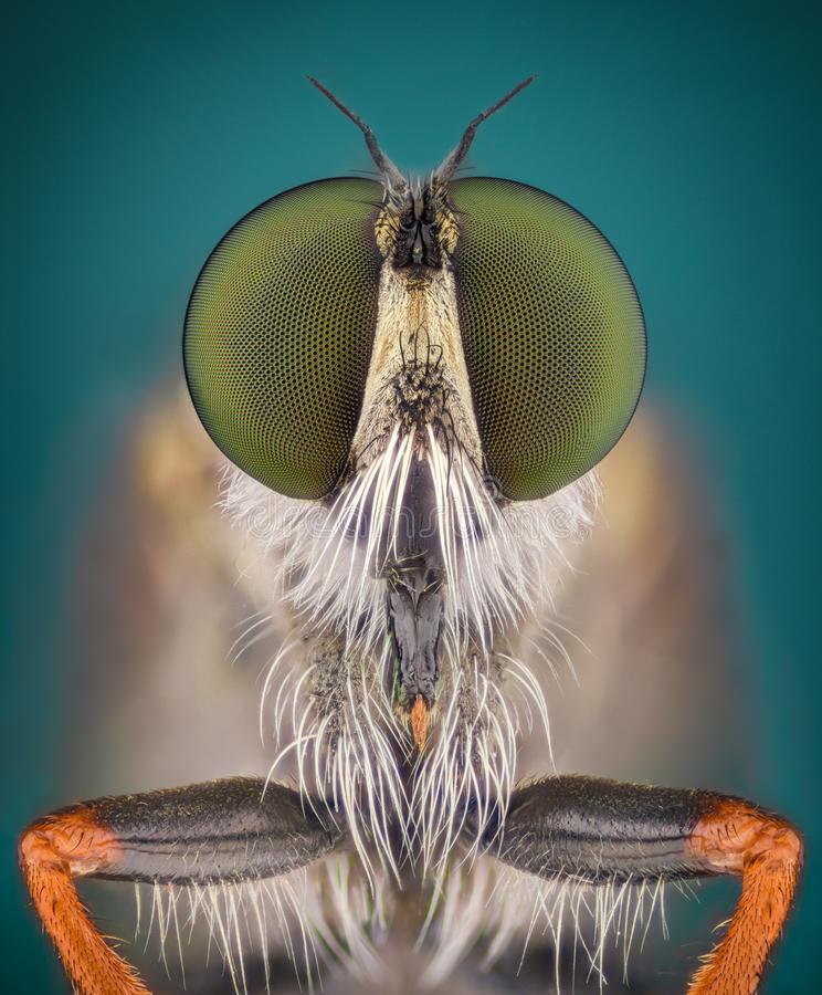 Extrem förstoring - rånarefluga royaltyfri foto