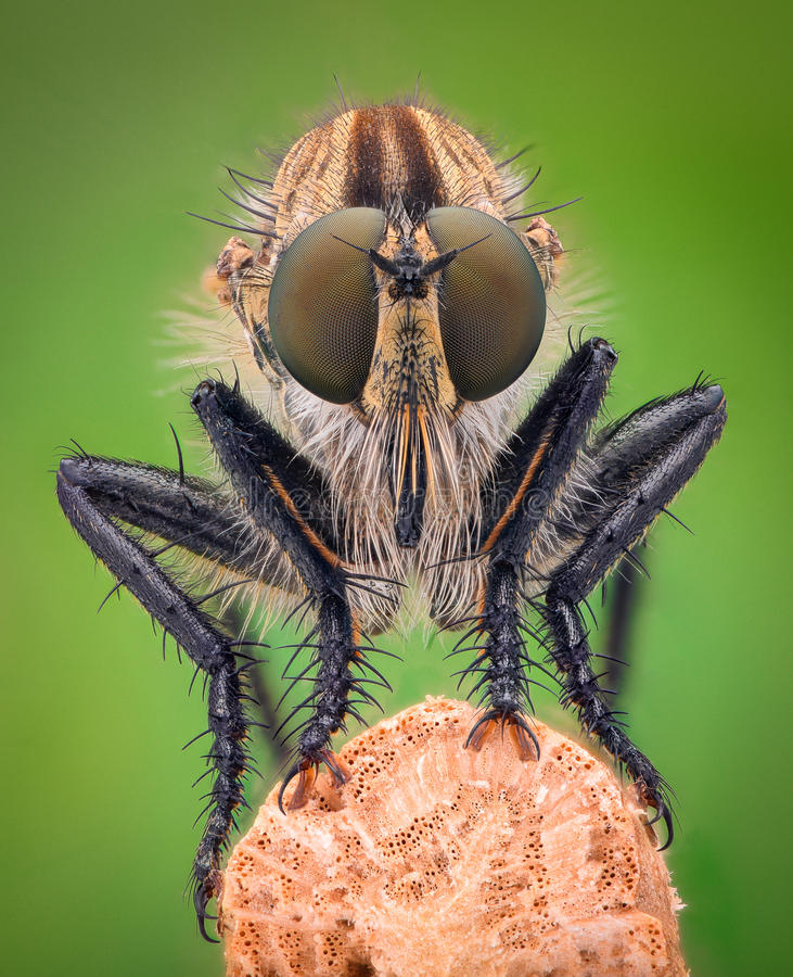 Extrem förstoring - rånarefluga royaltyfria foton