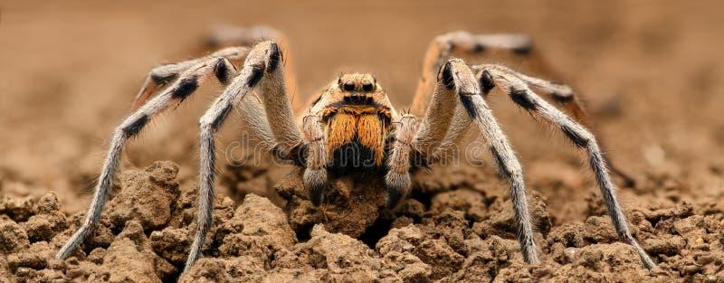 Extrem förstoring - Wolf Spider, fullt kroppskott, hög upplösning arkivfoton