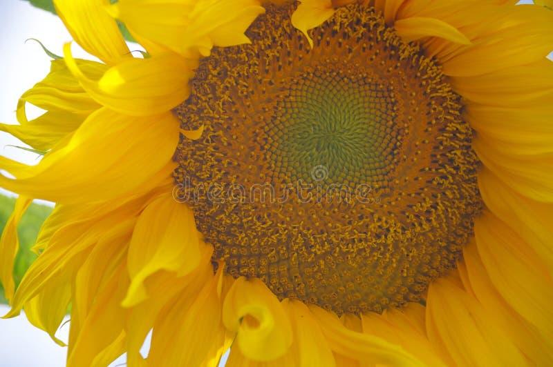 Extrem närbild av solrosblomningen med den slående mandalamodellen i mitt royaltyfri bild