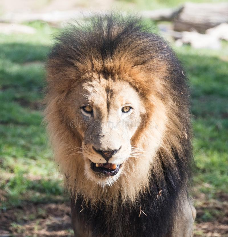 Close up of an African Male Lion royalty free stock image