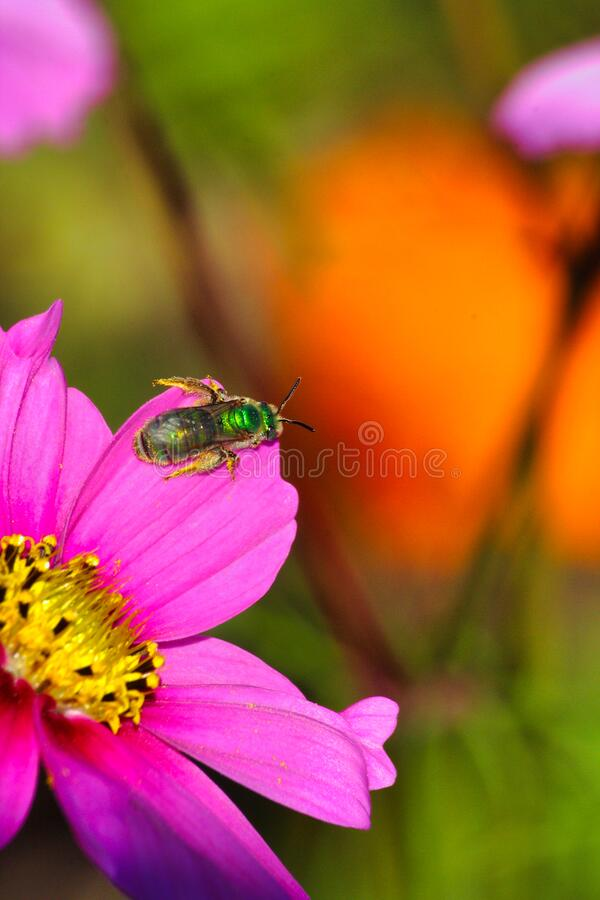 Extreme close-up of anirradescent green sweat bee on a bright purple flower. Very sunny scene of an irradescent green sweat bee on a purple flower in a garden stock photos